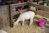 IMG_9145 sheep