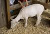 IMG_9146 sheep