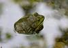 _MG_7824 frog back