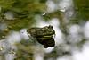 _MG_7922 frog