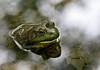 _MG_8035 frog g