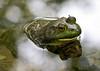 _MG_7961 2 frog