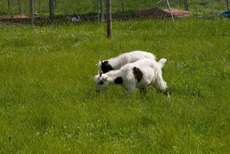 _MG_8606 baby goats