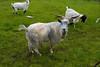 _MG_8586 goat