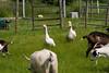 _MG_8610 geese