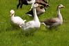_MG_8618 geese