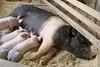 IMG_9120 big piglets