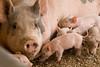IMG_9215 piglets