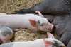 IMG_9106 big piglets_