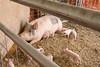 IMG_9207 piglets