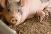 IMG_9212 piglets