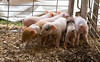 IMG_9309 piglets