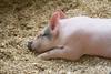 IMG_9104  big piglets