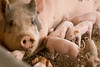 IMG_9216 piglets