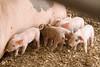 IMG_9213 piglets