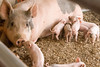 IMG_9210 piglets