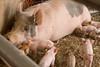IMG_9208 piglets