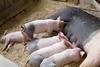 IMG_9115 big piglets