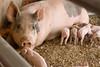IMG_9211 piglets