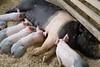 IMG_9112 big piglets