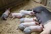 IMG_9126 big piglets