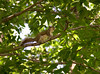 _MG_1910 cr squirrel g
