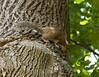 _MG_1898 squirrel
