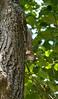 _MG_1900 squirrel