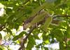 _MG_1913 cr squirrel g