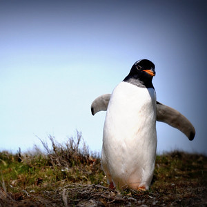 wild gentoo penguin, Falkland Islands