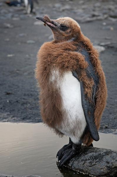 Adolescence; juvenile king penguin getting adult plumage.