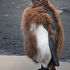 Adolescence; juvenile king penguin getting adult plumage.