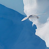 Snow petrel over iceberg.