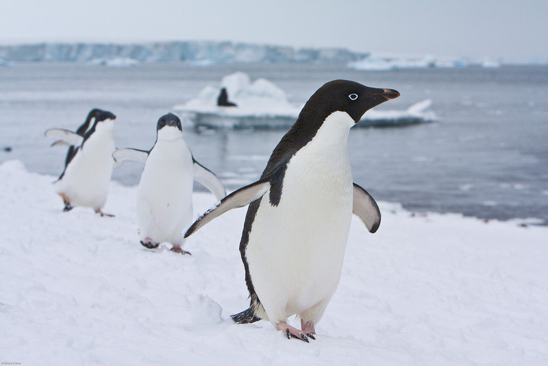 Marching Adelie penguins