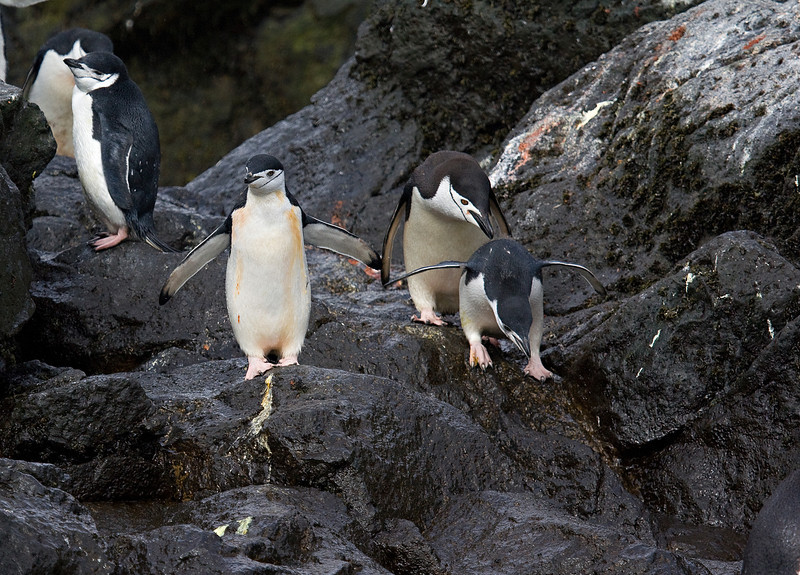 Chinstrap penguins looking for leopard seal before diving into water