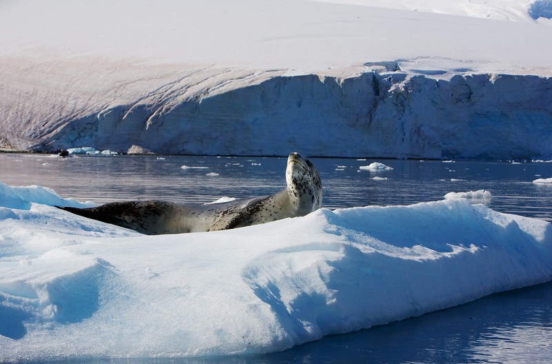 Leopard seal resting on ice.