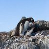 Gentoo penguin on nest with chick.