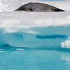 Resting Weddell Seal