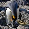 King penguin feeding chick.