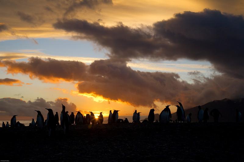 Sunrise at king penguin colony.