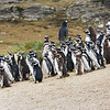 Colony of mostly Magellanic penguins