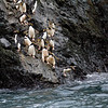 Macaroni penguins going to the water.