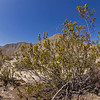 "Creosote bush can reach a height of 4 to 10 feet (1.2 to 3 m). Its waxy leaves give off a unique odor when moistened by rainwater that once smelled, is always remembered. Many a visitor to deserts where the creosote bush grows has exclaimed when a thunderstorm forms on the horizon, ""It smells like it is going to rain!"" Botanists believe that some of these desert shrubs may be upwards to 9,000 years old, making them the oldest living life form."