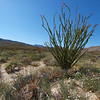 Ocotillo blooms in Coyote Canyon.