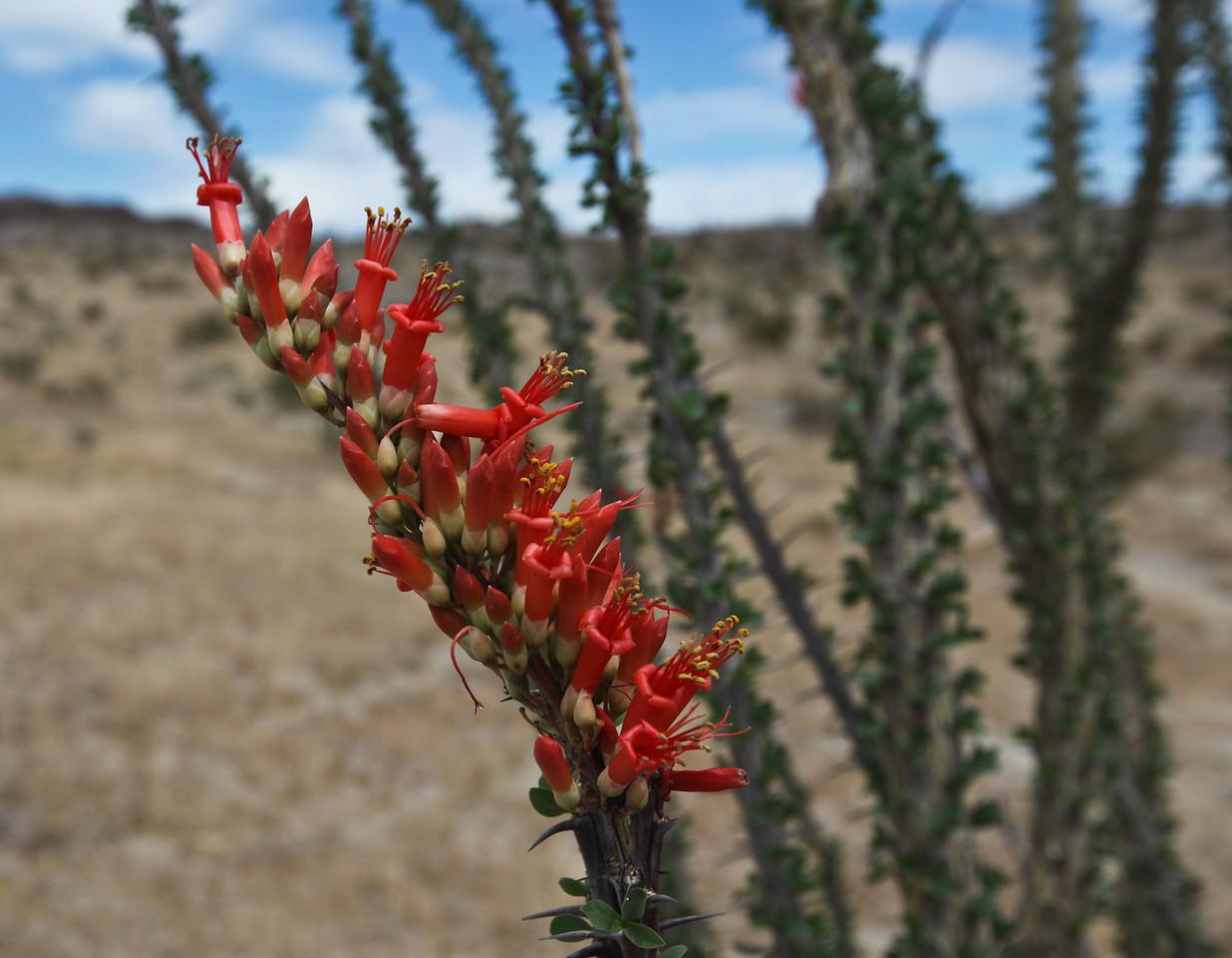 ocatillo, Anza-Borrego State Park