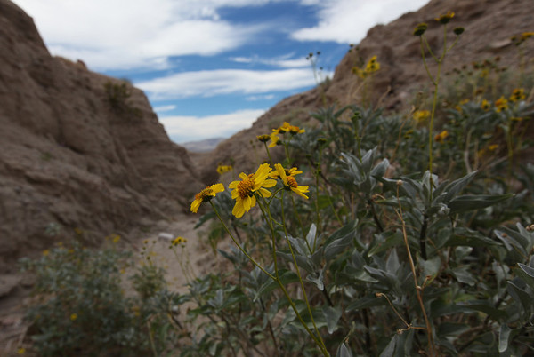 wildflowers, Anza-Borrego State Park