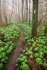 Mayapples at Thunder Ridge on the Appalachian Trail in Virginia. May 2004.