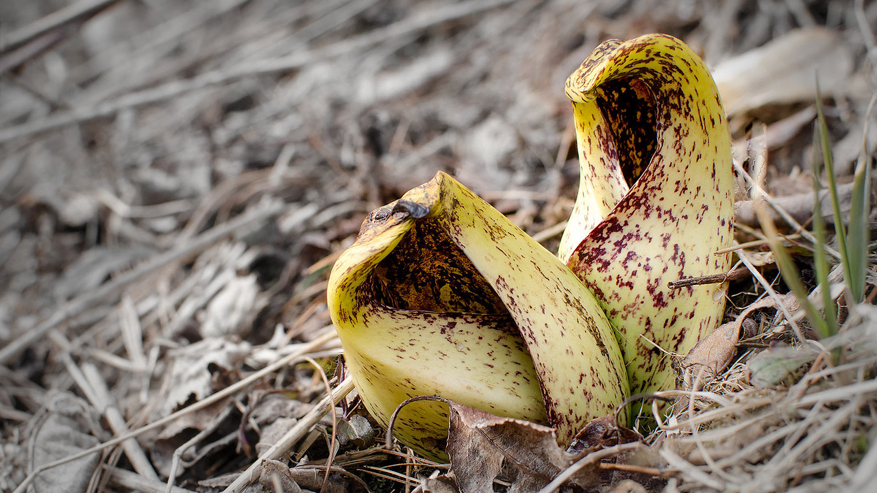 Pitcher plants erupt out of the Pocono forest floor, The background color has been desaturated for effect. 1920 pixels wide