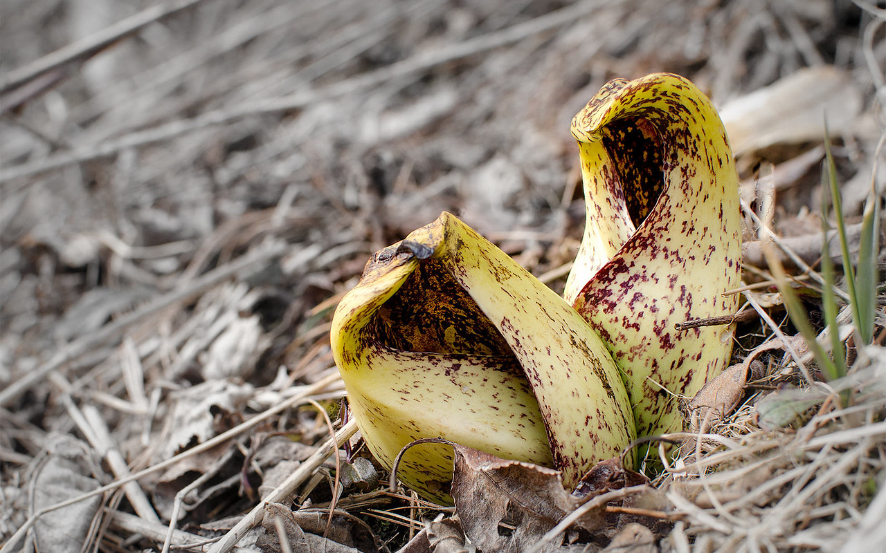 Pitcher plants erupt out of the Pocono forest floor, The background color has been desaturated for effect. 1680 pixels wide