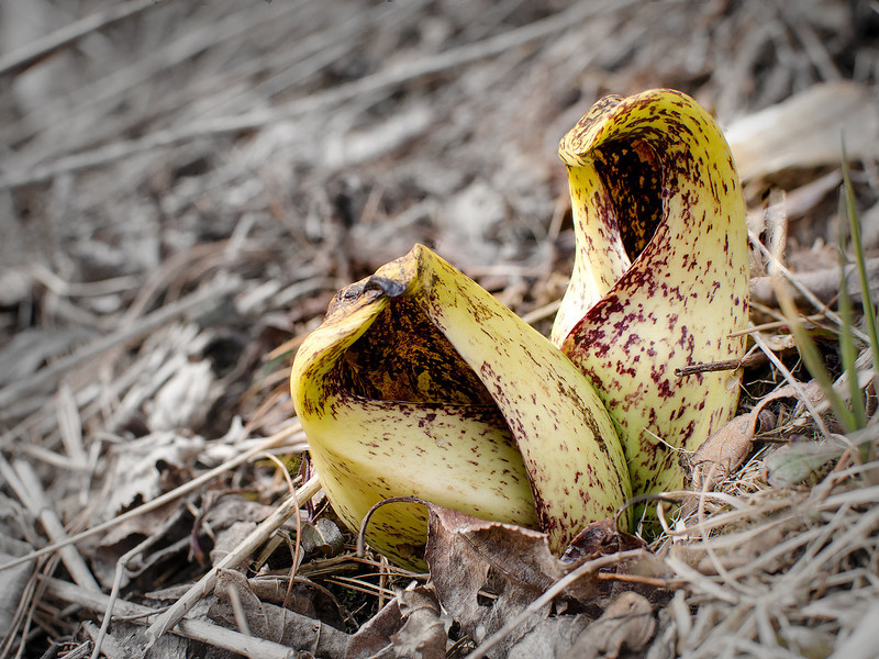 Pitcher plants erupt out of the Pocono forest floor, The background color has been desaturated for effect. 2048 pixels wide